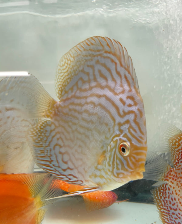 Brilliant Blue Discus