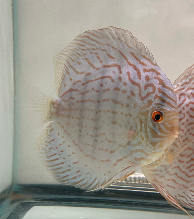 Jumbo Discus (Several Strains)