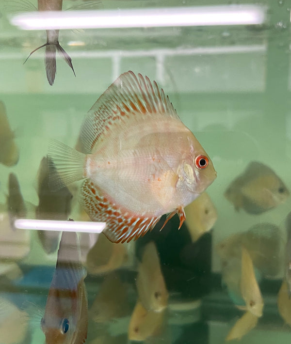 Golden Spotted Discus