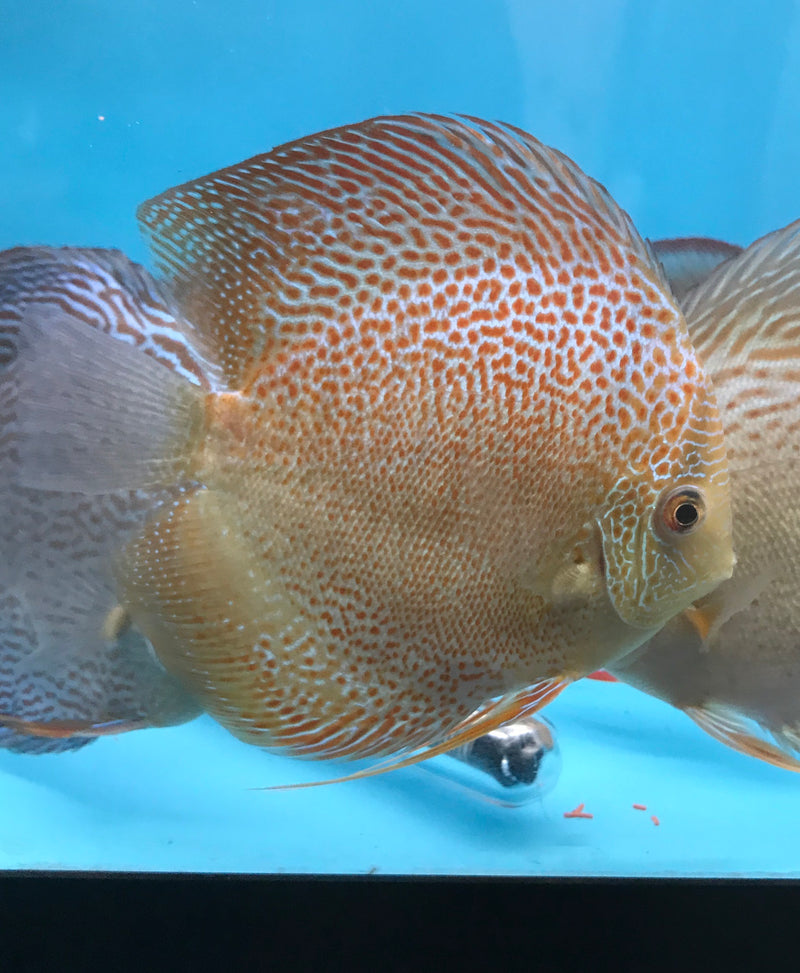 Red Spotted Green Snakeskin Discus