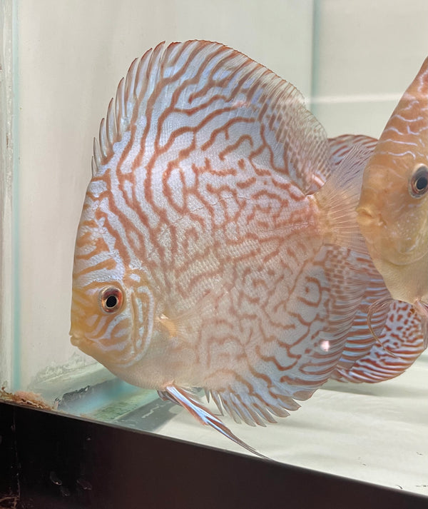 Blue Carnation Discus