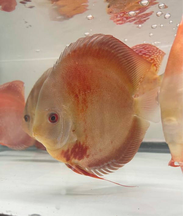 Red Scarlet Discus