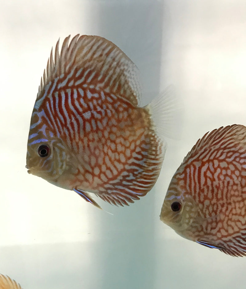 Blue Tiger Turquoise Discus