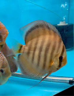 Red Rose Discus