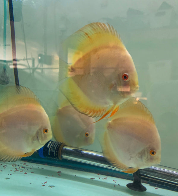 Yellow Lemondrop Discus
