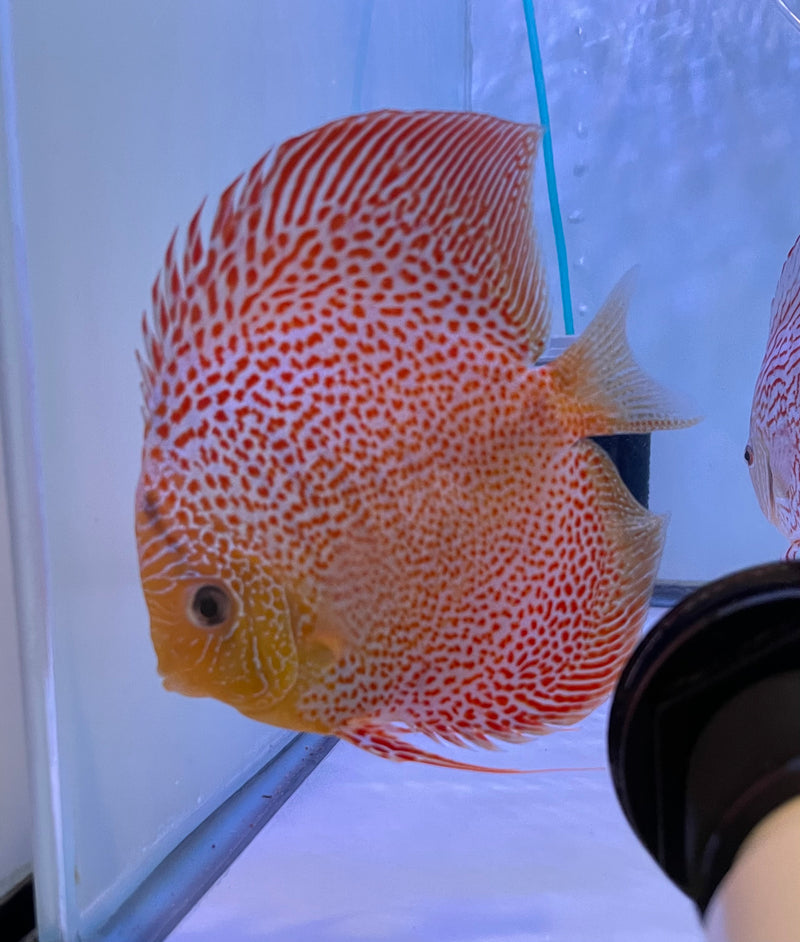 Face Spotted Eruption X Red Turquoise Discus Potential Pair