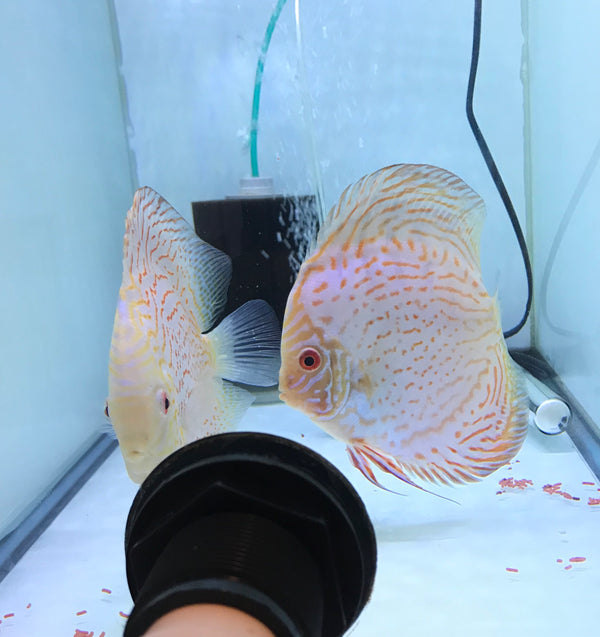 Jumbo Golden Spotted X Golden Carnation Potential Pair