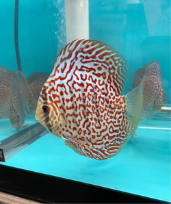 Maze Ring Leopard Discus