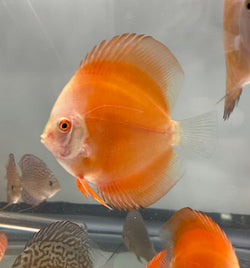 Golden Knight Discus