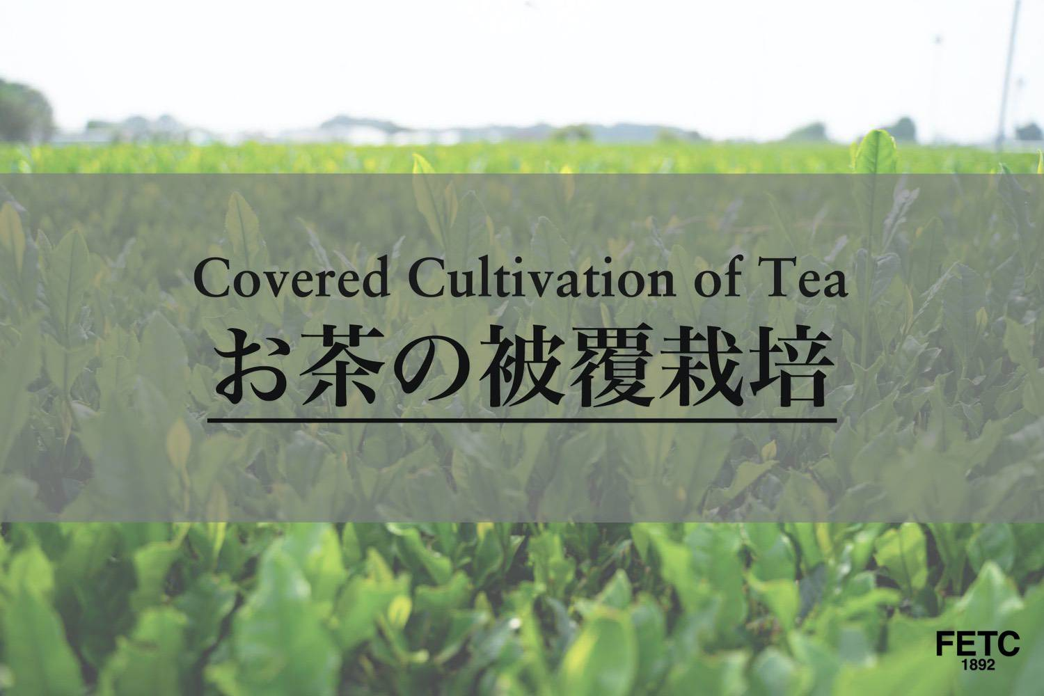 Covered Cultivation of Tea