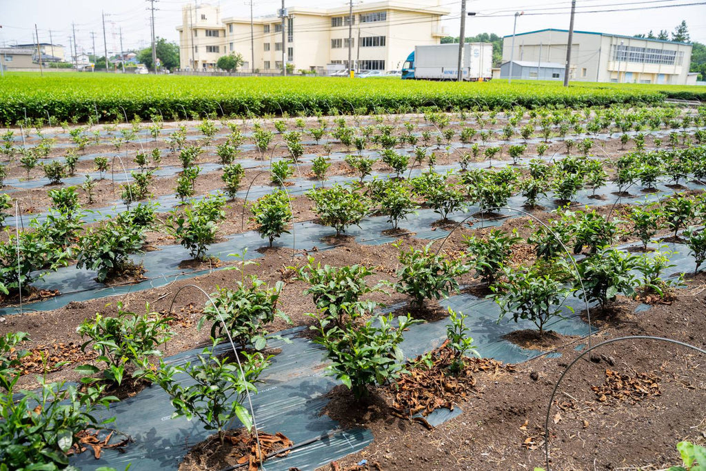 1 or 2-year-old tea plants