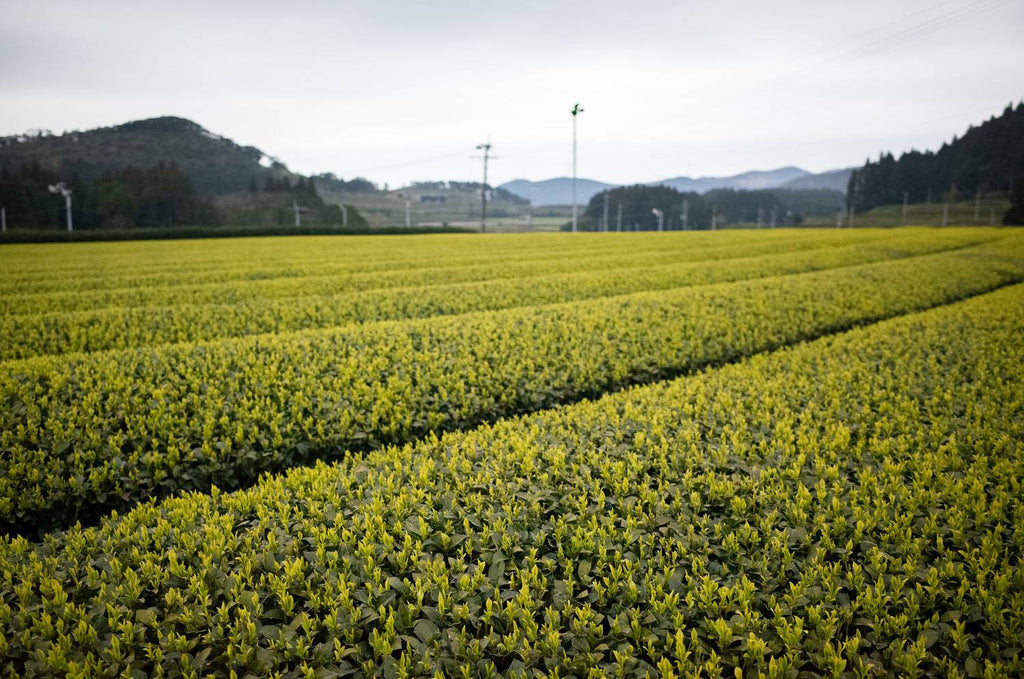Tea farm of Segawa Tea Factory