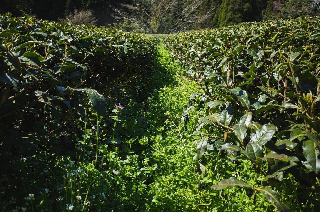 Weed thickly grown in furrow of tea farm