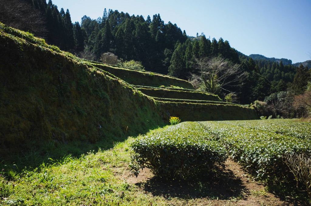 Tea farm of Niikawa Tea Factory