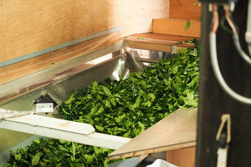 Picked tea leaf is carried to manufacturing