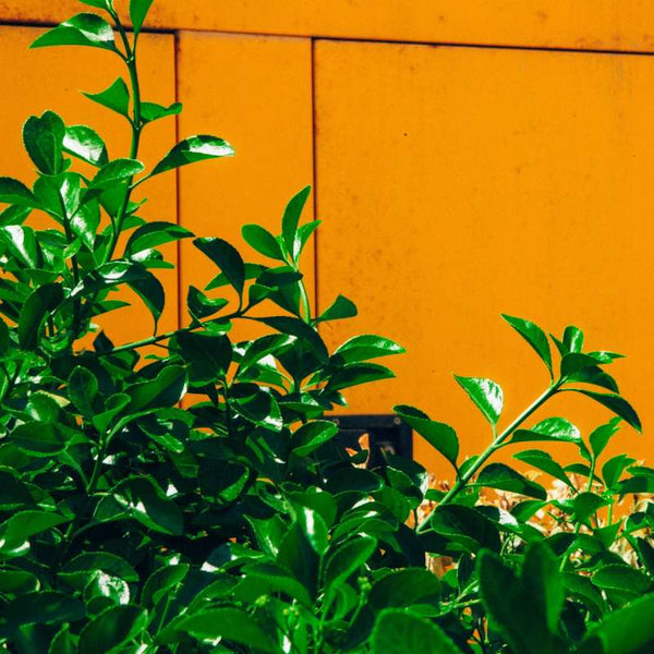 Green foliage and an orange wall background.
