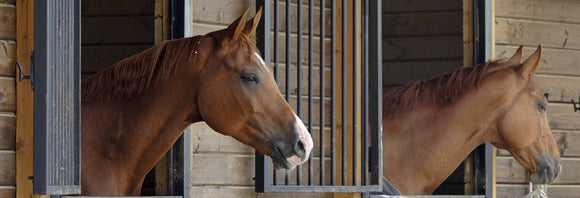 Two chestnut horses looking out over stall doors.