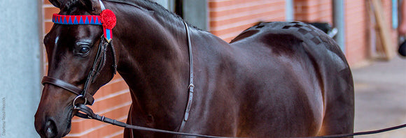 Shiny show horse ready to go in the arena.