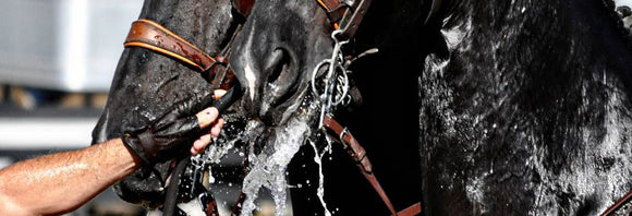 Sweaty driving horse drinking from a hose.