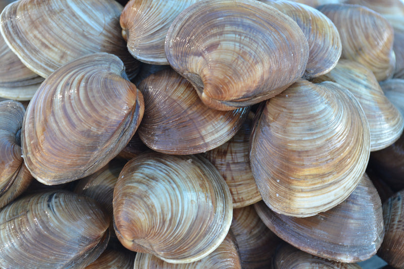 Florida Hard Clams (One Dozen Pieces) - Pelican Seafood Company