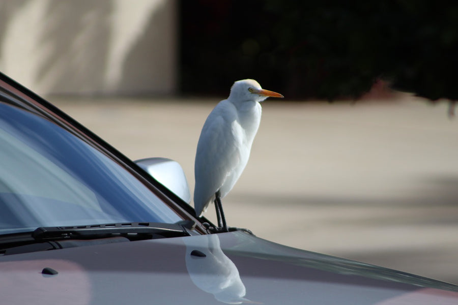 Gone to the Birds: How to Protect Your Car from Bird Poop