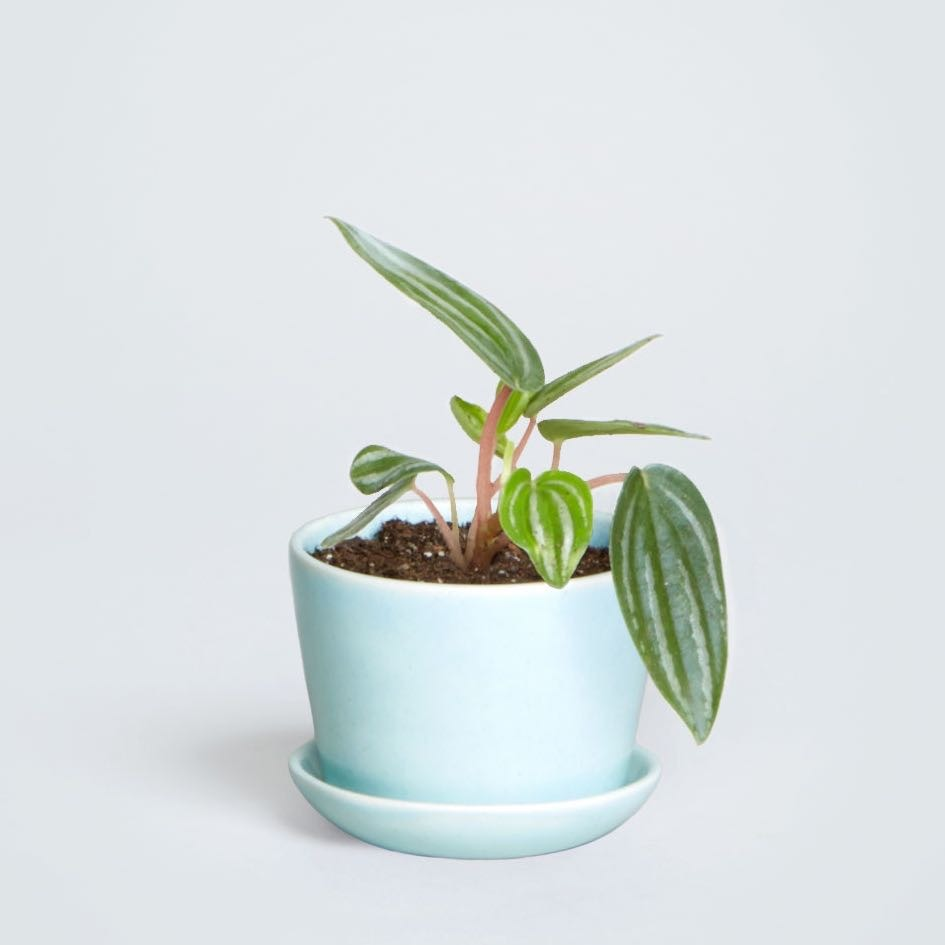 A small plant in a teal pot from the Sill