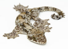 Load image into Gallery viewer, Flying Gecko (Ptychozoon kuhli)