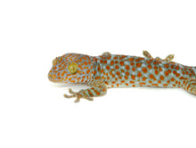 Load image into Gallery viewer, Tokay Gecko (Gekko gecko)