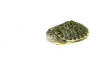 Load image into Gallery viewer, River Cooter (Pseudemys concinna)