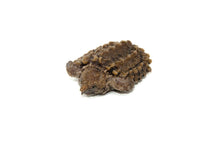 Load image into Gallery viewer, Alligator Snapping Turtle (Macrochelys temminckii)