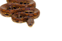 Load image into Gallery viewer, Brazilian Rainbow Boa (Epicrates cenchira)