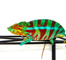 Load image into Gallery viewer, Blue Ambanja Panther Chameleon Male (Furcifer pardalis)