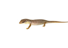 Load image into Gallery viewer, Baby Savannah Monitor (Varanus exanthematicus)