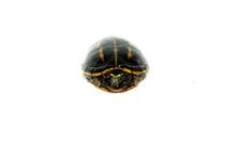 Load image into Gallery viewer, Three Striped Mud Turtle Adults (Kinosternon baurii)