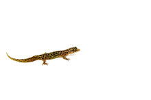 Load image into Gallery viewer, Dwarf Barking Gecko (Sphaerodactylus sputator)
