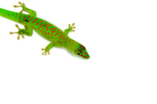 Load image into Gallery viewer, Crimson Day Gecko (Phelsuma grandis)