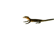 Load image into Gallery viewer, Peachthroat Monitor (Varanus jobiensis)