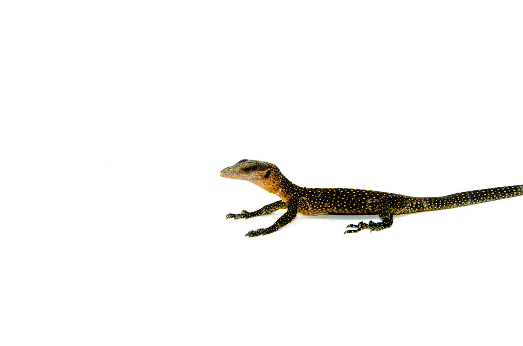 Peachthroat Monitor (Varanus jobiensis)