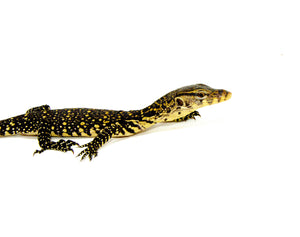 Socialized Sumatran Water Monitor (Varanus salvator)