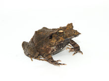 Load image into Gallery viewer, Solomon Island Leaf Frog (Ceratobatrachus guentheri)