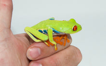 Load image into Gallery viewer, Red Eyed Tree Frog (Agalychnis callidryas)
