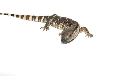 Cape Banded White Throat Monitor (Varanus albigularis)