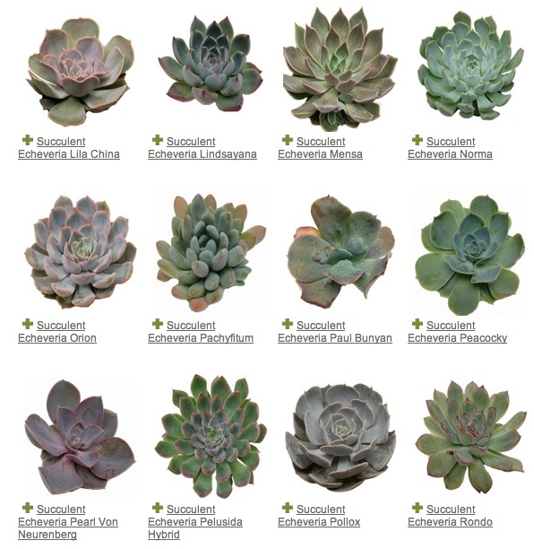 mayesh succulents guide two