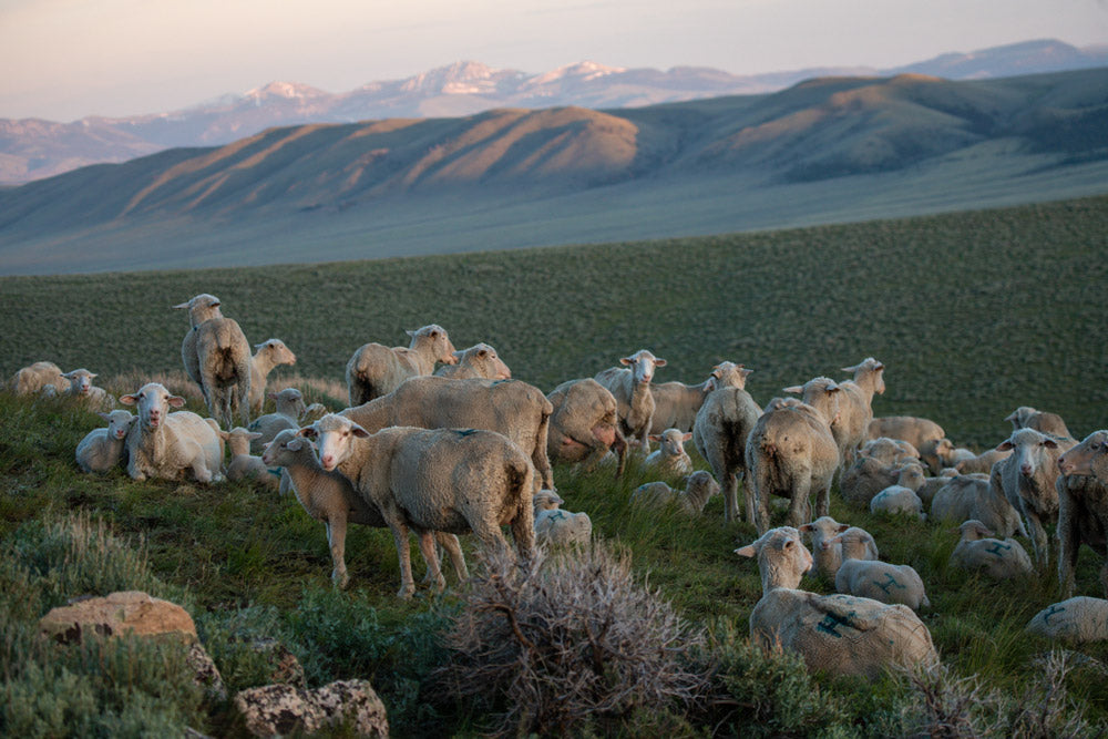 Why Wear Merino Wool in the Summer - Sheep in the Mountains