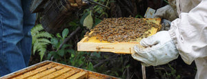 NZ Beekeepers Check Beehive and Honey