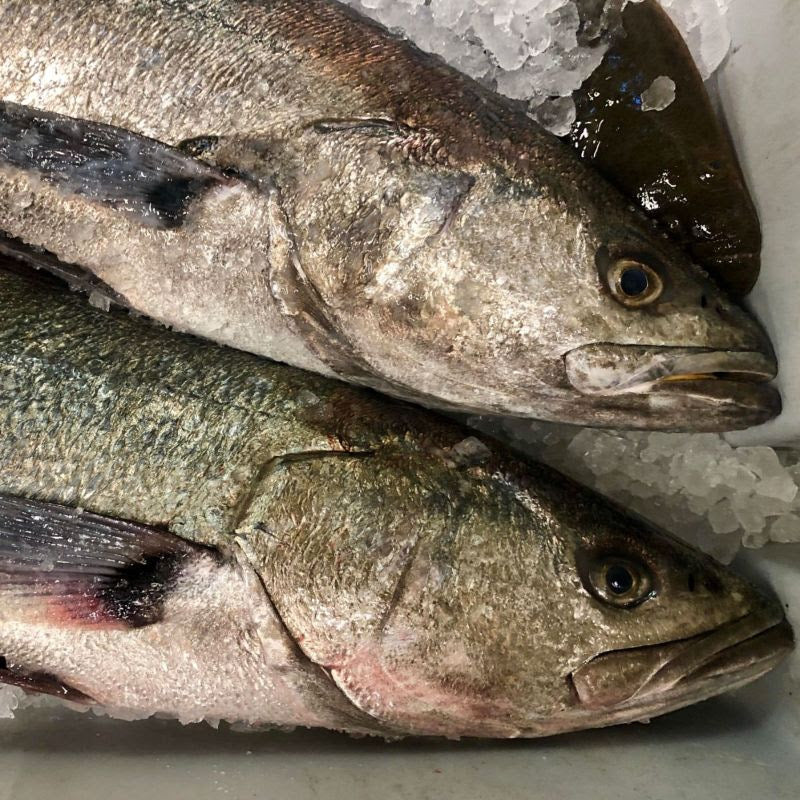 Local White Seabass Collar