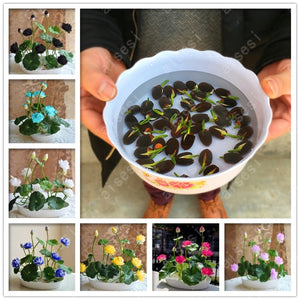 Bonsai Lotus flower seeds for summer-home and garden-Shop On Couch