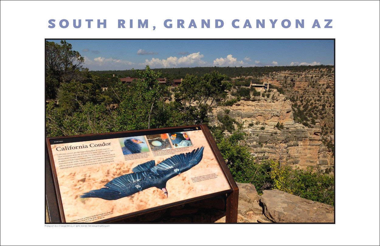 California Condor on South Rim, Grand Canyon, AZ Photo Wall Art #1130