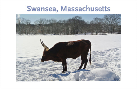Swansea Watusi Cattle in Winter Photo on Canvas Wallart #380