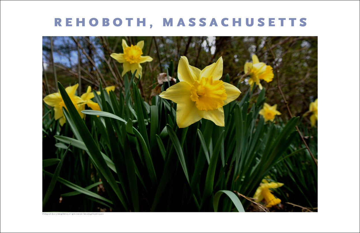 Wall Art, Spring Daffodils in Rehoboth, MA Digital Photo #435